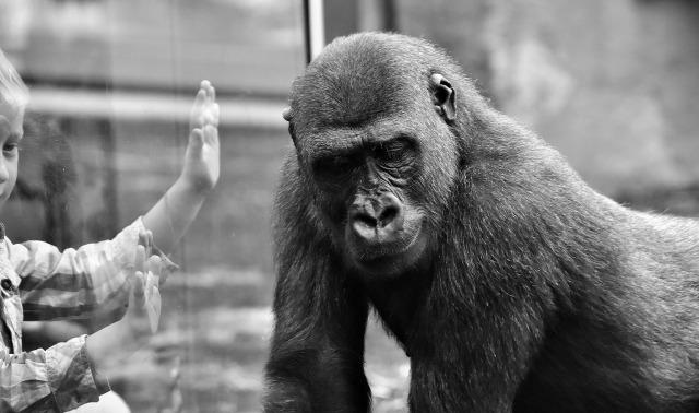 gorilla-2320407_1920